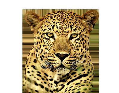 cheetah(n)